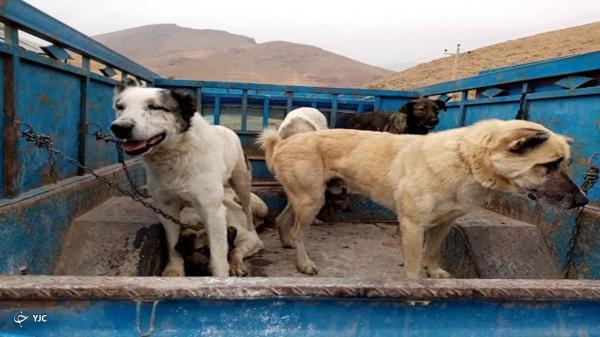 سگ های بی صاحب در مهاباد ساماندهی می شوند